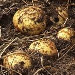 Как вырастить целебный картофель под соломой