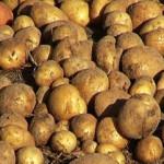 Урожай картофеля в 2013 году